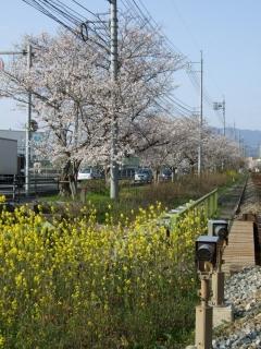 桜だより⑩坂町北新地_b0095061_194076.jpg