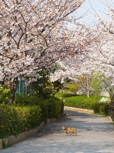 桜猫 その3&猫ふん6告知_c0136217_3204928.jpg