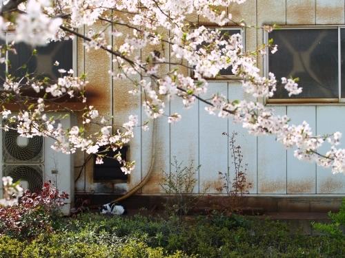 桜猫 その3&猫ふん6告知_c0136217_321610.jpg