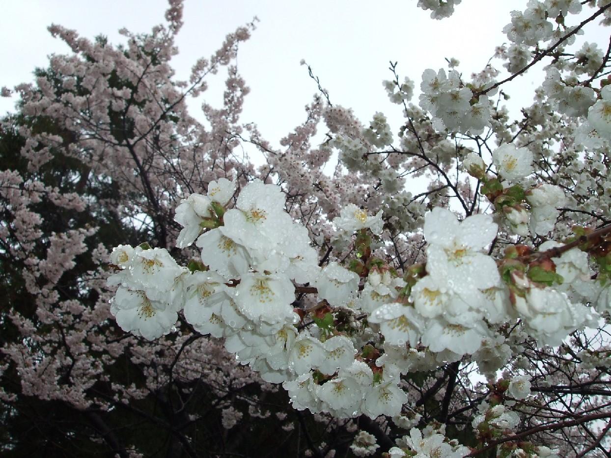 桜が満開です☆_e0135219_8594270.jpg