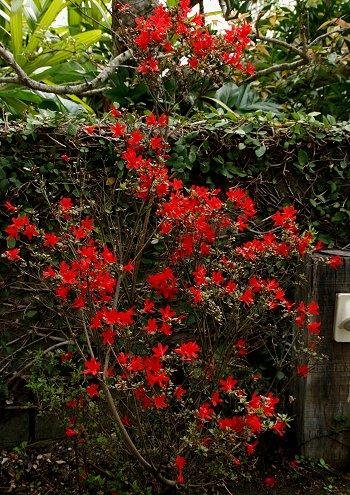真っ赤なツツジが今年も咲きました!_d0030373_11325100.jpg