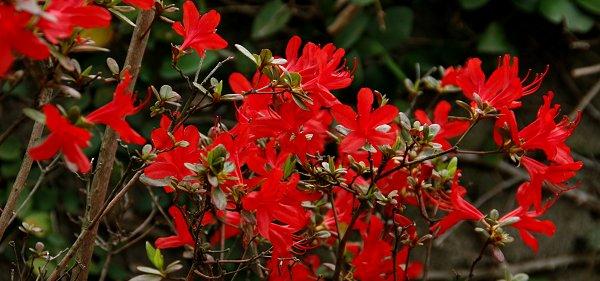 真っ赤なツツジが今年も咲きました!_d0030373_1135511.jpg