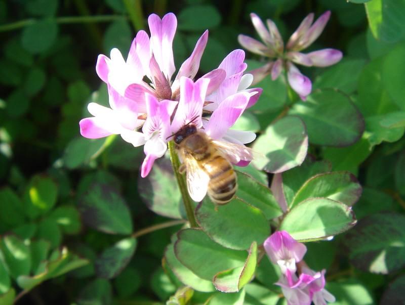 蓮華草と蜜蜂と_f0059673_6102363.jpg