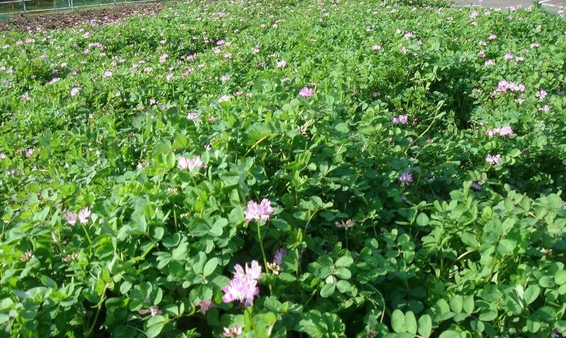 蓮華草と蜜蜂と_f0059673_6104932.jpg