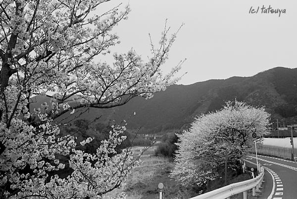 Apr.  12  (sut)  桜2008 その5_f0139991_22494387.jpg