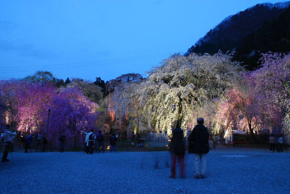 清雲寺のしだれ桜(その10)_e0124594_23114628.jpg
