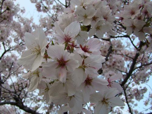お花見_a0047200_925737.jpg