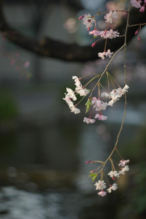 枝垂れ桜_c0136330_12101724.jpg