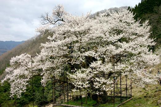 樽見の大ザクラ、神の桜よ甦れ! (兵庫)_b0067283_1314921.jpg