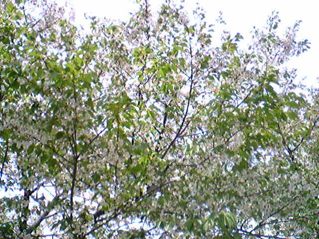 Sakura in Tokyo..._e0142585_14442253.jpg