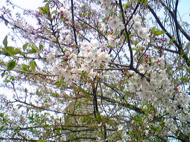 Sakura in Tokyo..._e0142585_14442291.jpg