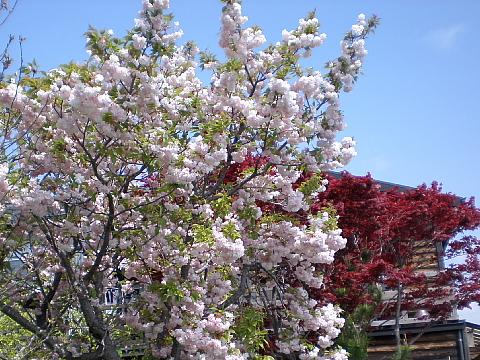 八重桜_e0145995_19443751.jpg