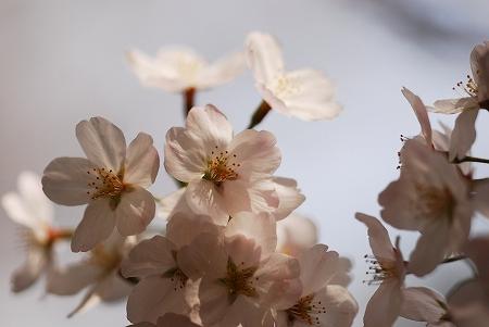 春の花たち_a0020021_2335555.jpg