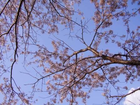 桜吹雪_c0134122_17123928.jpg