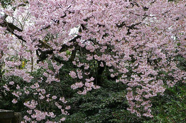 続・桜の兼六園~金沢 _d0043136_1837136.jpg