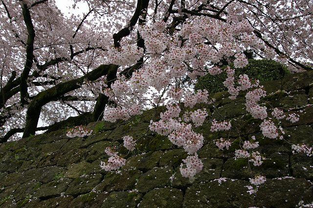 続・桜の兼六園~金沢 _d0043136_18381889.jpg