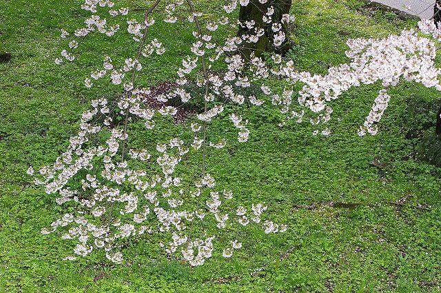 続・桜の兼六園~金沢 _d0043136_18431280.jpg
