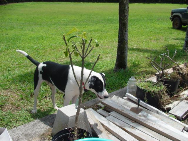 マウイの犬_d0143957_826952.jpg