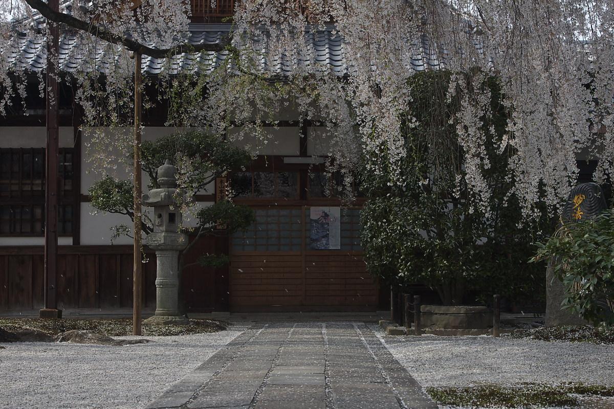 京都 本満寺 枝垂れ桜_f0021869_22374185.jpg