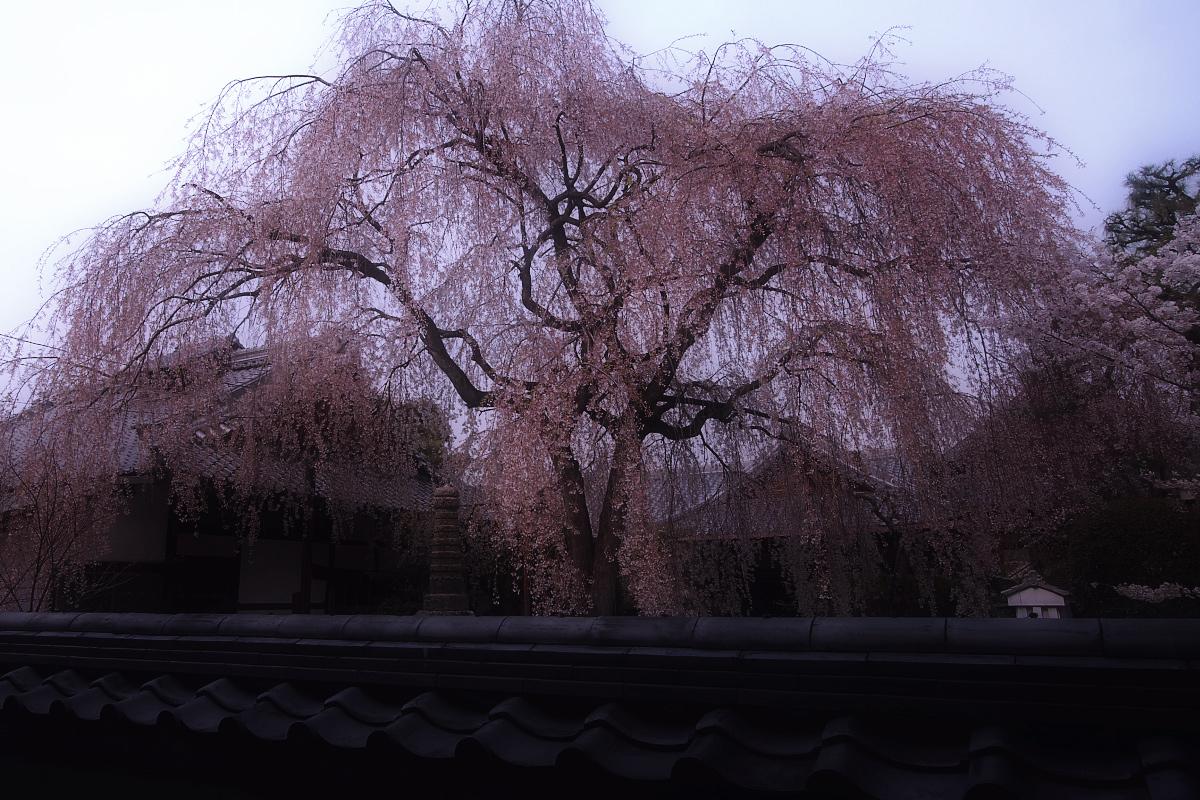 京都 本満寺 枝垂れ桜_f0021869_22395743.jpg