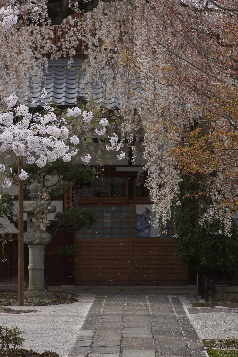 京都 本満寺 枝垂れ桜_f0021869_22432264.jpg