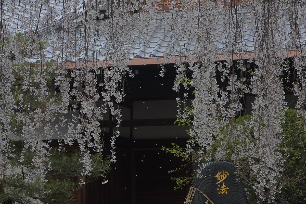 京都 本満寺 枝垂れ桜_f0021869_23401473.jpg