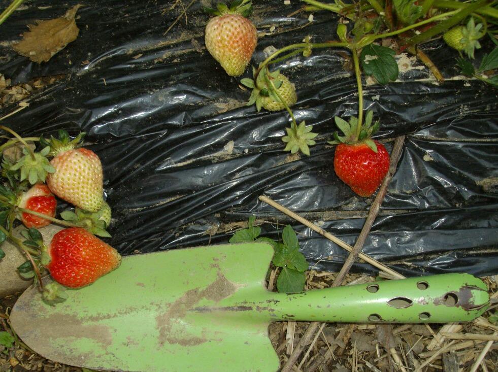 イチゴの近況とナメクジ対策_f0018078_1921221.jpg