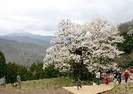 樽見の大ザクラ、神の桜よ甦れ! (兵庫)_b0067283_1412498.jpg