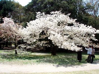 まだ満開ーー府立植物園_e0048413_21223749.jpg