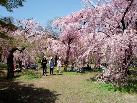 まだ満開ーー府立植物園_e0048413_2123113.jpg