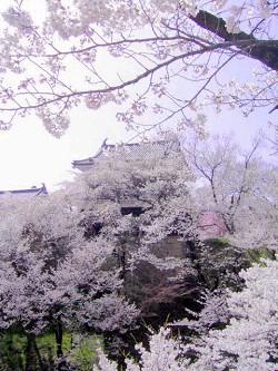 上田城千本桜_a0089450_23102395.jpg