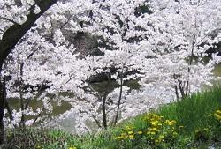 上田城千本桜_a0089450_23113086.jpg