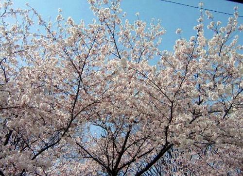 上田城千本桜_a0089450_23175274.jpg