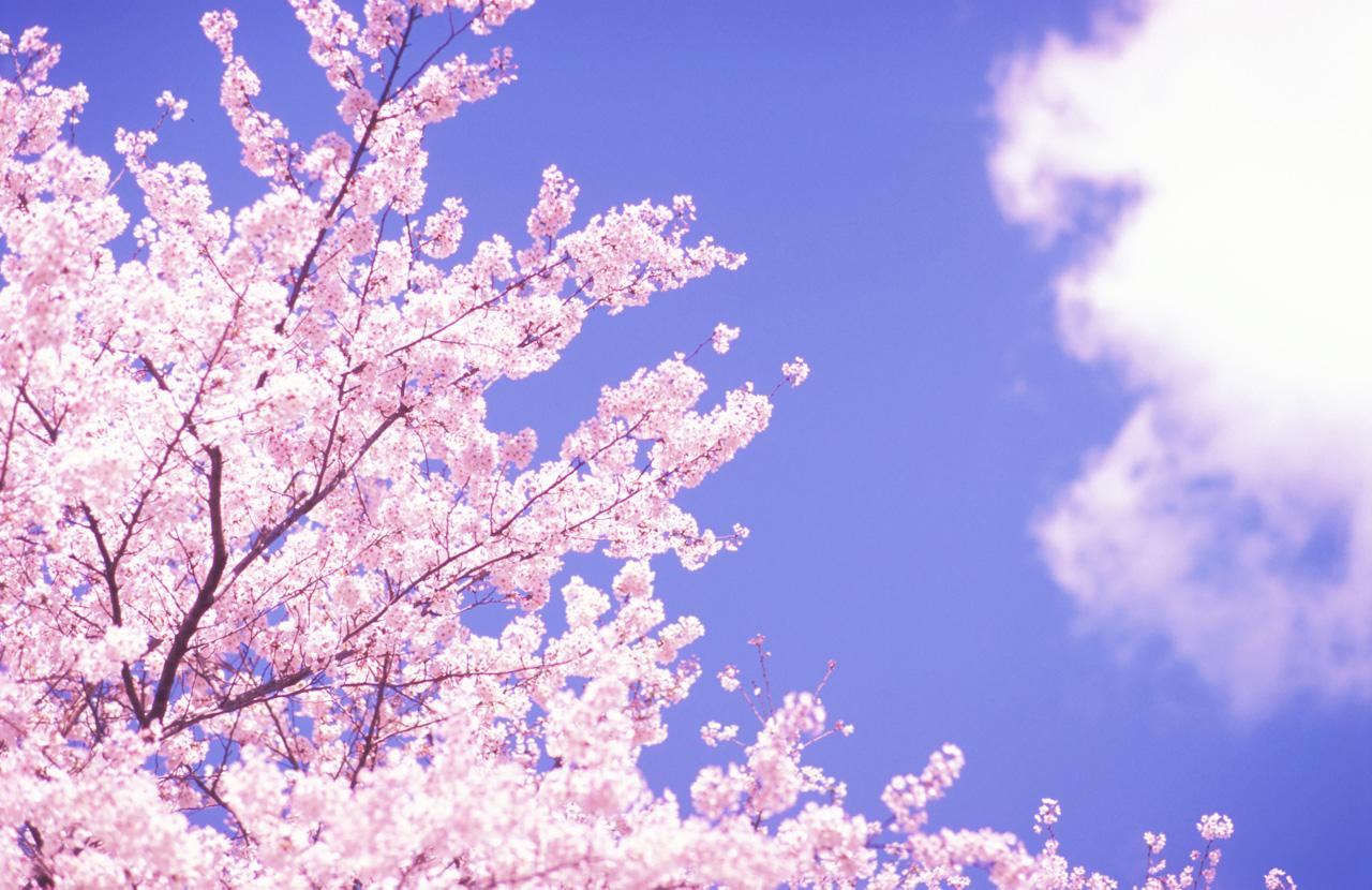 桜の画像 p1_24