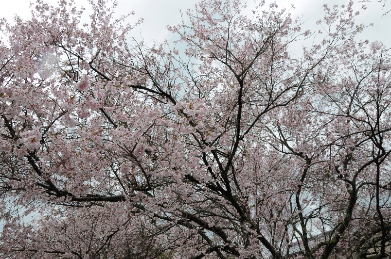 中の千本の桜@桜美荘たいらーその4_d0056382_5144065.jpg