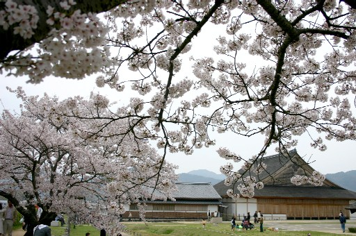 篠山城跡、大書院いろどる桜たち (兵庫)_b0067283_13242858.jpg