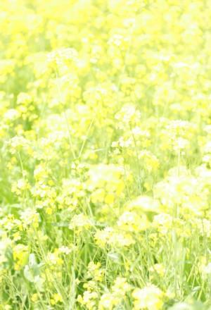 菜の花_b0113510_2222407.jpg
