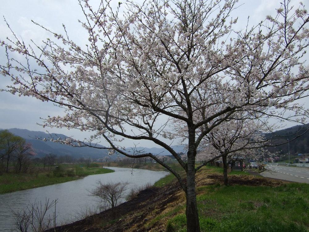 桜と「燃やした」跡_d0001843_22284797.jpg