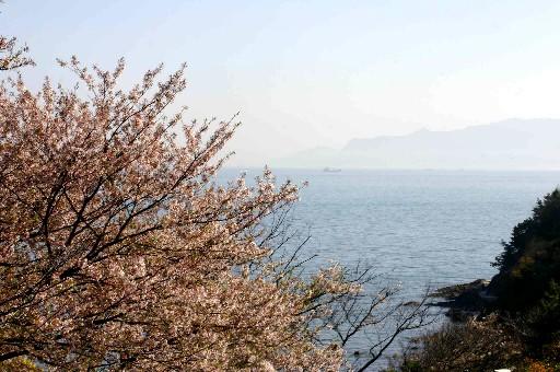 赤穂御崎、瀬戸内望む崖の桜 (兵庫)_b0067283_0383491.jpg