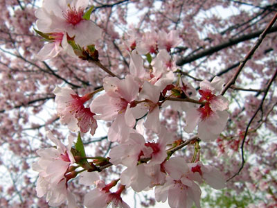 茶臼山公園の桜_d0066822_6591690.jpg