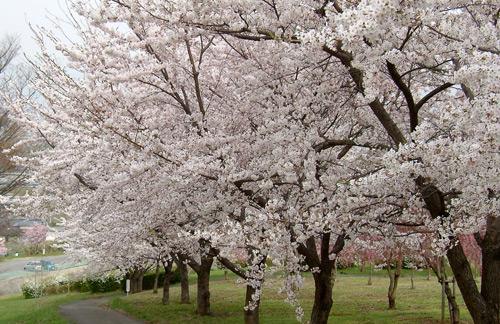 茶臼山公園の桜_d0066822_6594527.jpg