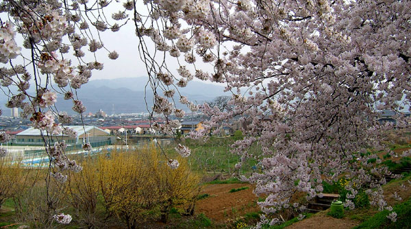 茶臼山公園の桜_d0066822_703859.jpg