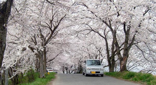 茶臼山公園の桜_d0066822_781318.jpg