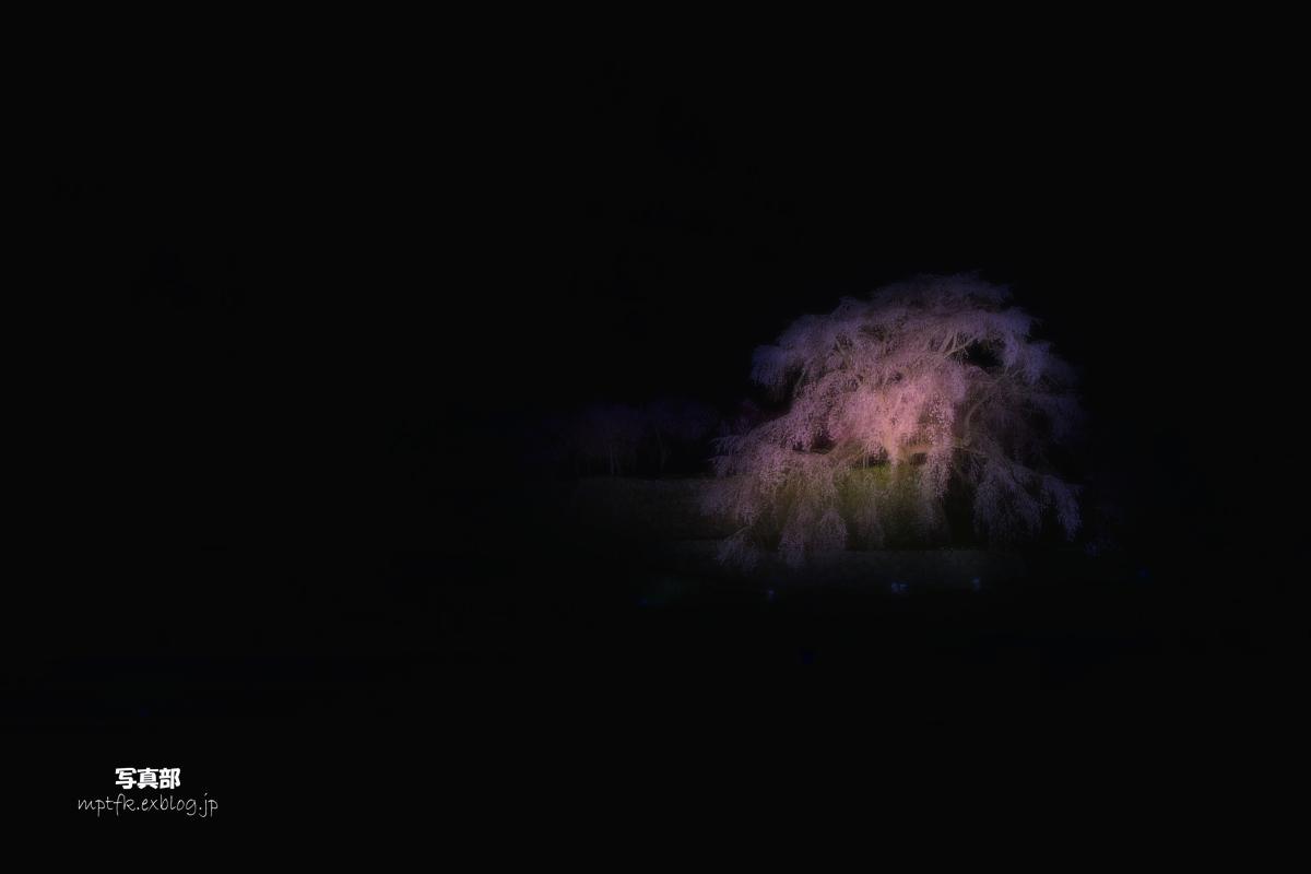 奈良 又兵衛桜 ライトアップ_f0021869_19231256.jpg