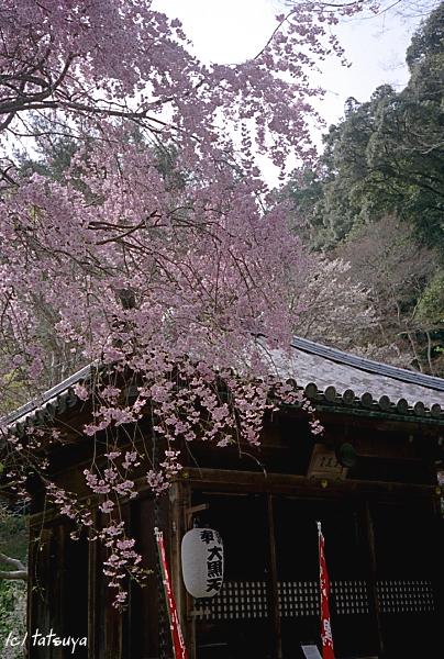 Apr.  17  (thu)  長谷寺の桜 1_f0139991_233136.jpg