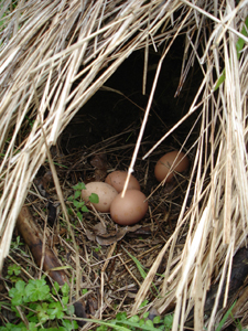 鶏の秘密基地_f0106597_134391.jpg
