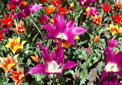 植物園 1、チューリップ_e0048413_10253919.jpg