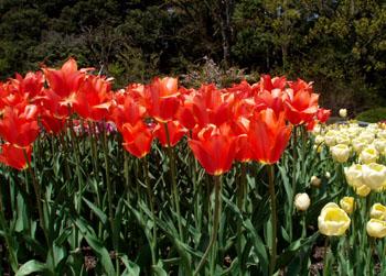 植物園 1、チューリップ_e0048413_10255372.jpg