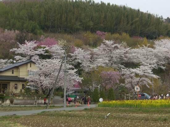 みちのく観桜行 (花見山)_d0065324_1053282.jpg