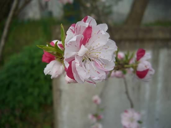 みちのく観桜行 (花見山)_d0065324_1172414.jpg